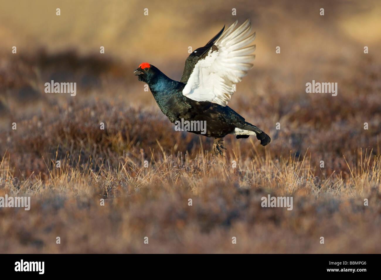Black Grouse (Lyrurus tetrix), flying, Vaestergoetland, Sweden, Scandinavia, Europe - Stock Image