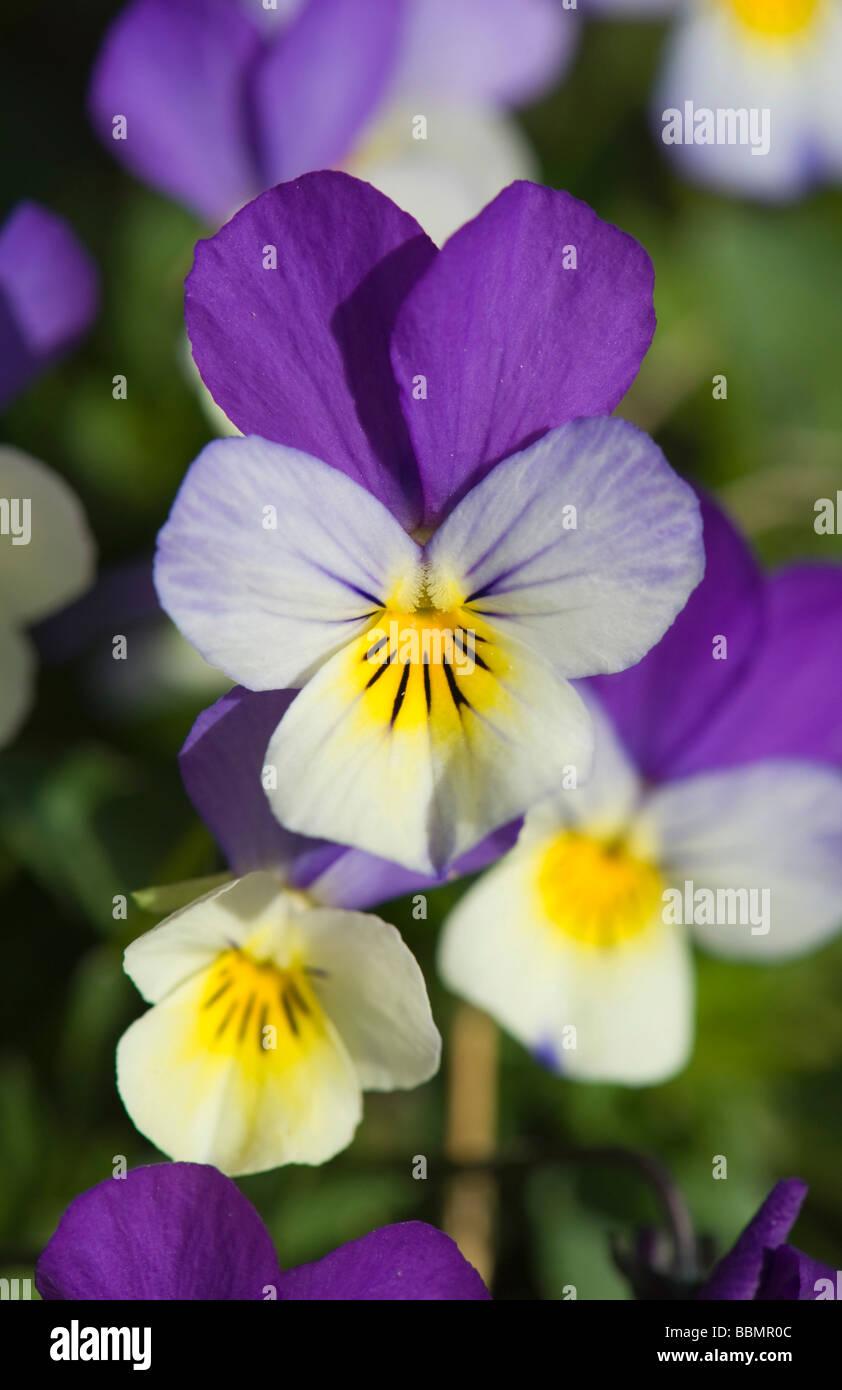 Heartsease (Viola tricolor), blossoms, Vaestergoetland, Sweden, Scandinavia, Europe - Stock Image