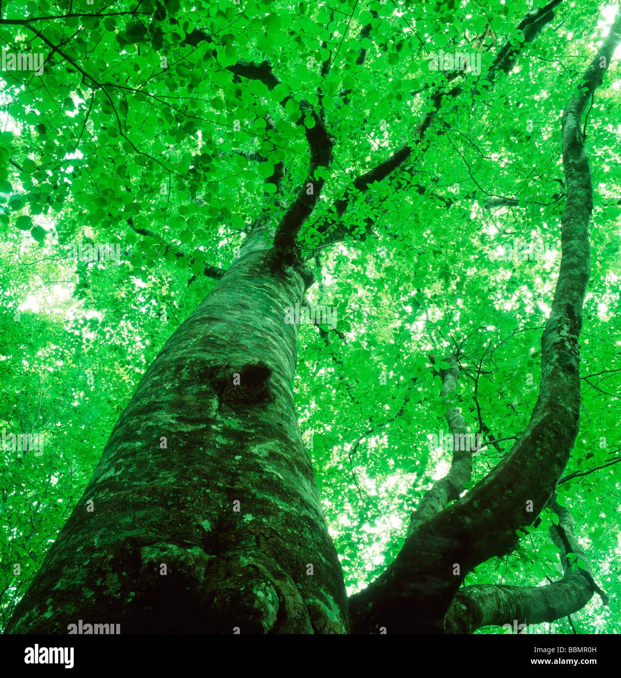 Upward view of a tree - Stock Image