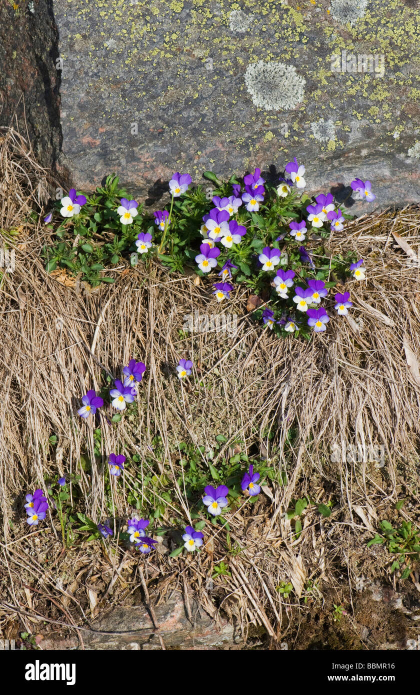 Heartsease (Viola tricolor), blossoms at a boundary ridge, Vaestergoetland, Sweden, Scandinavia, Europe - Stock Image