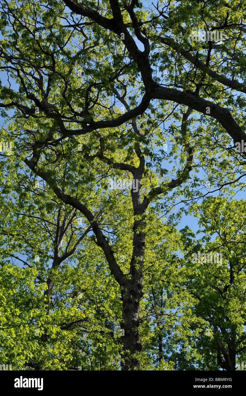 Mighty oaks. - Stock Image