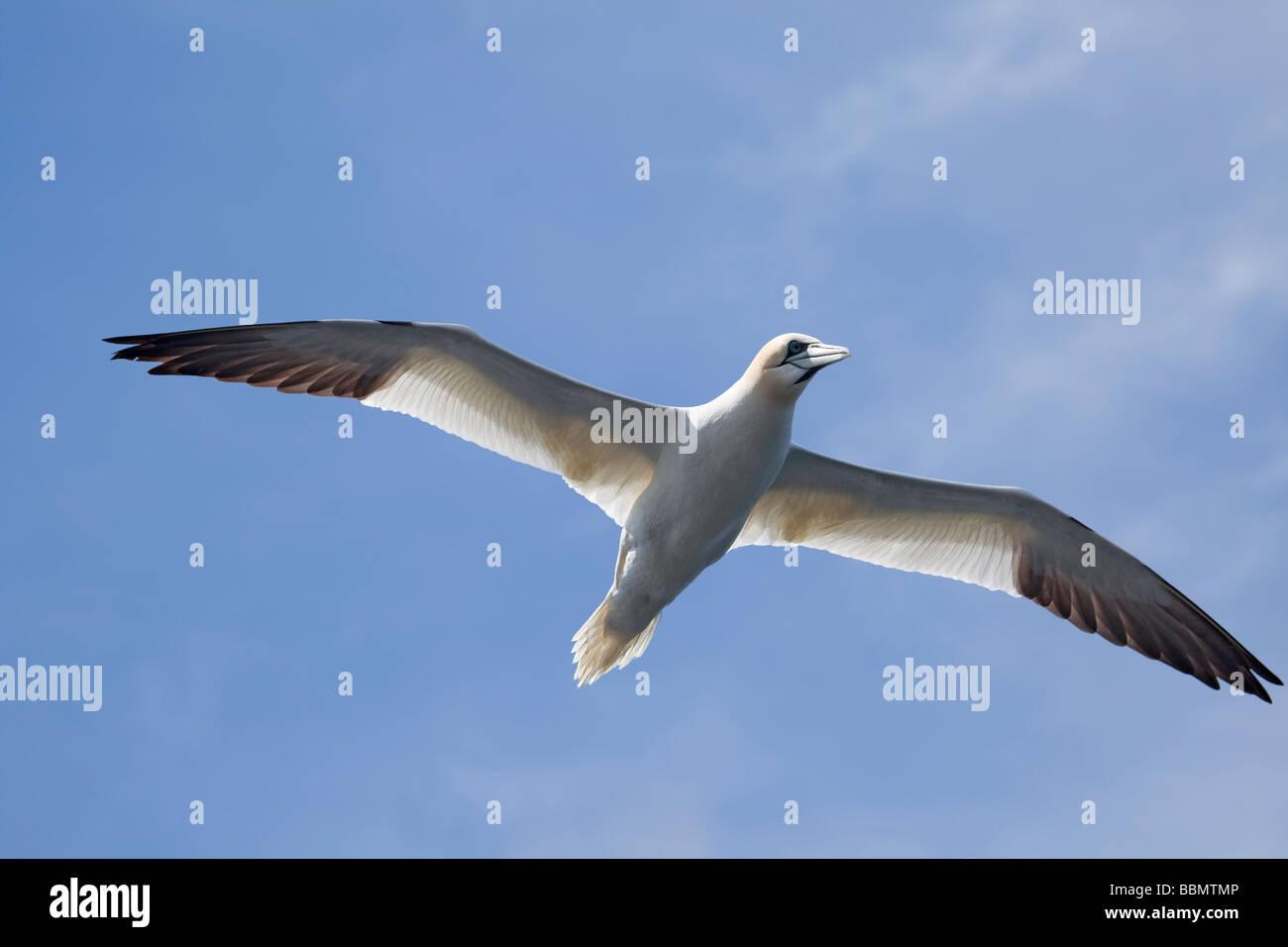 Northern Gannet, Morus bassanus (Sula bassana), in flight near its nesting colony on Ailsa Craig, nine miles off - Stock Image