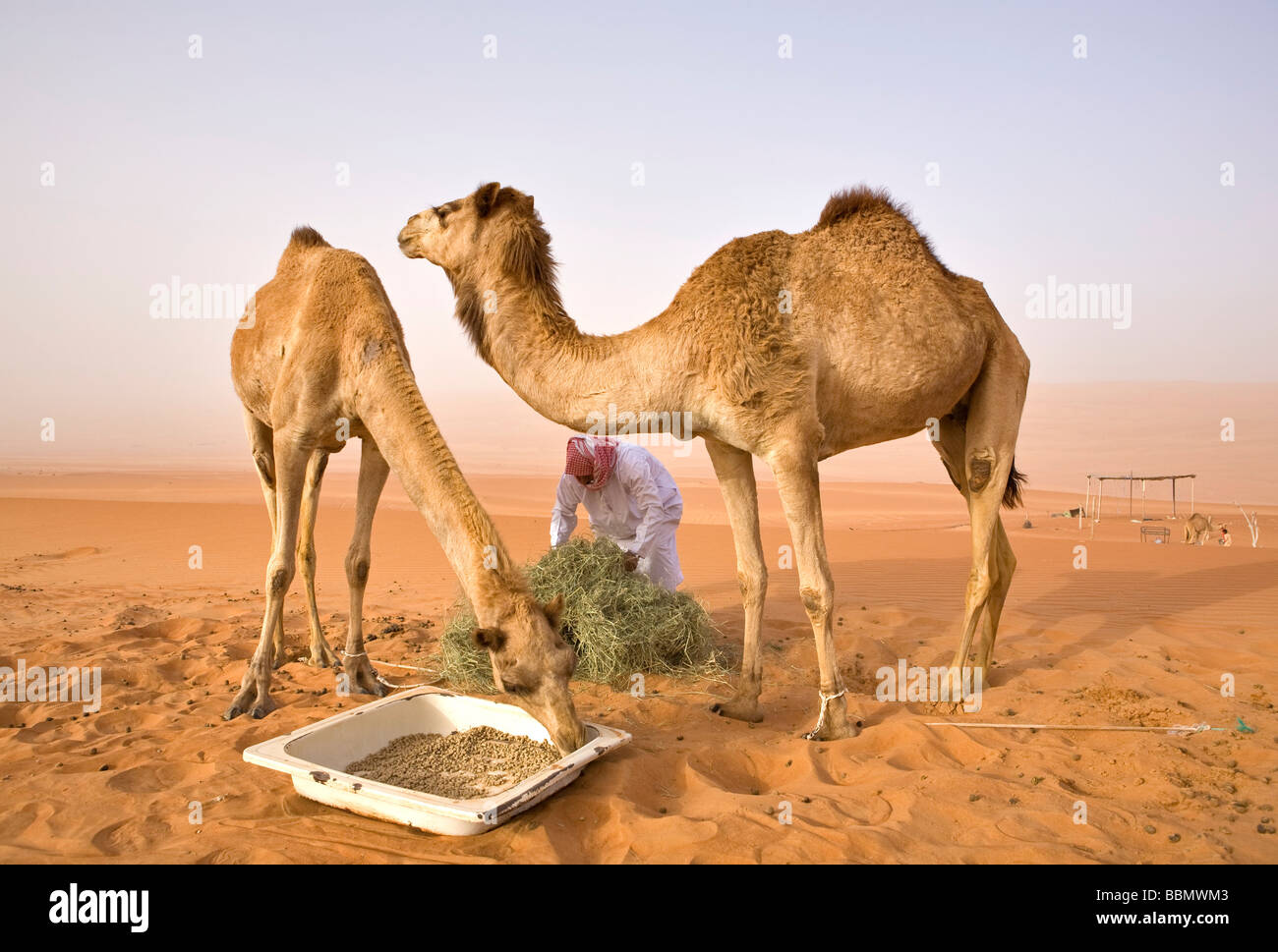 Wahiba,Oman,Feeding time for the camels of a local Bedouin in Wahiba Sands Stock Photo