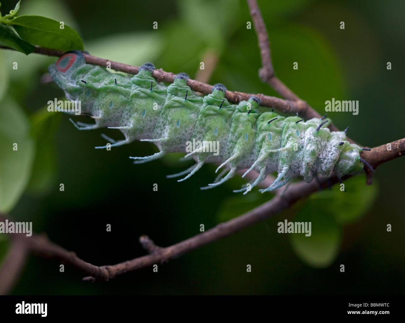 Atlas Moth Caterpillar (attacus atlas) - Stock Image
