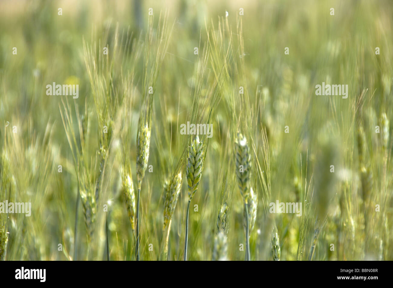 Wheat spikes - Stock Image