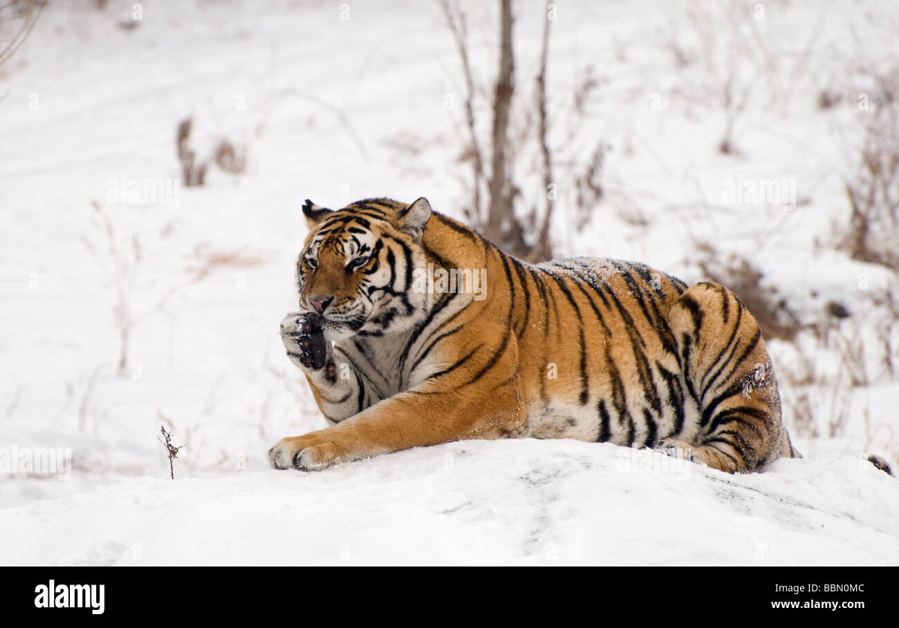 Siberian Tiger on a snow covered rock, licking its paw. - Stock Image