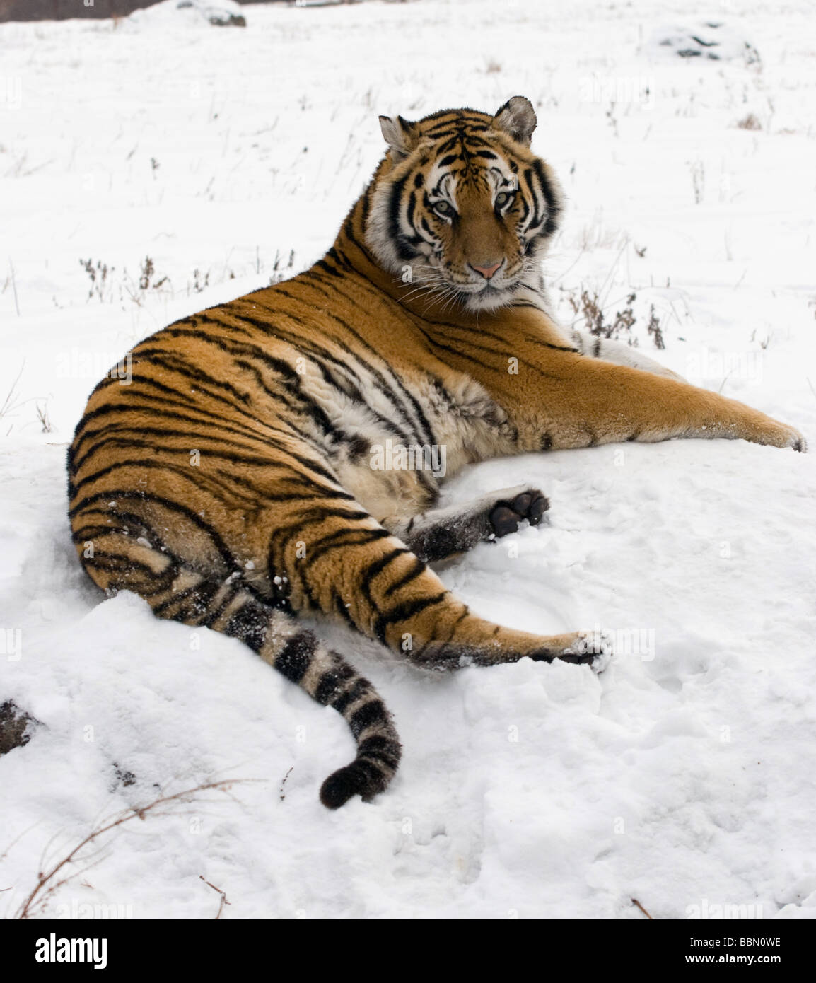Siberian Tiger lazing in the white snow of a Chinese reserve. - Stock Image