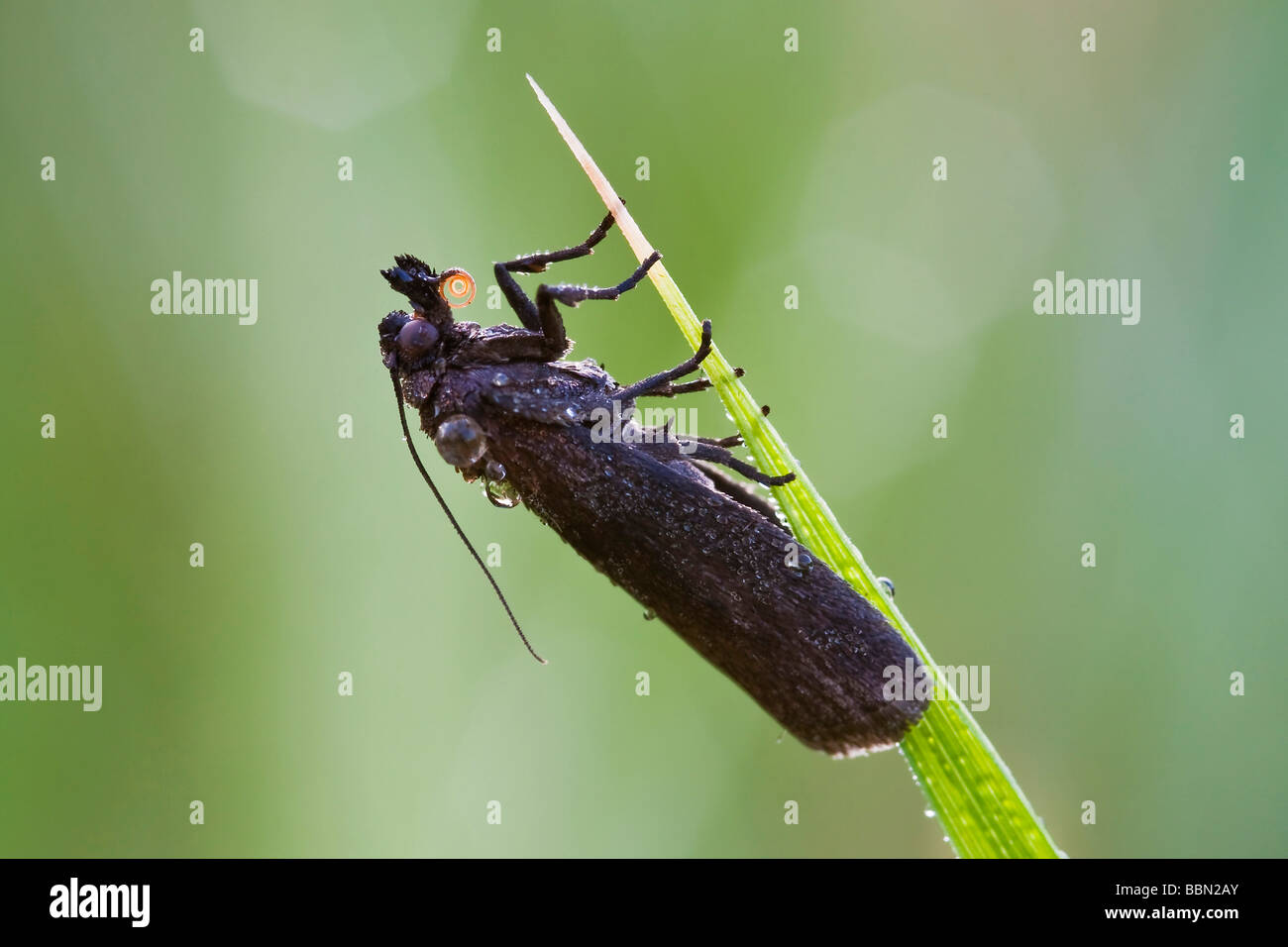 Butterfly iwith morning dew on a blade of grass - Stock Image