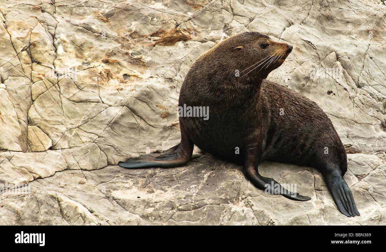 Fur Seal at a Seals colony near Kaikoura - Stock Image