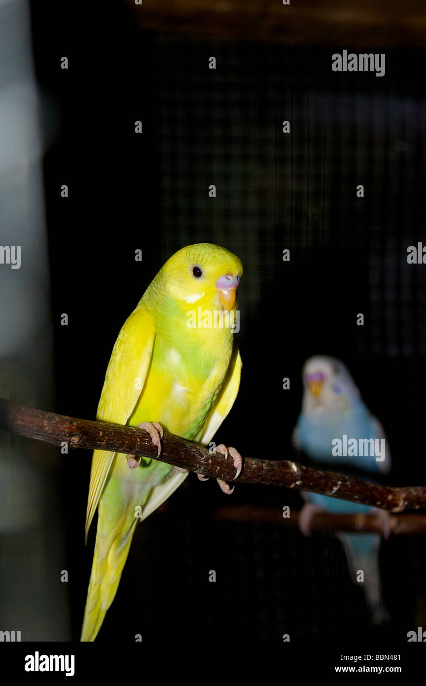 Two parrots in a cage. Introvert-extrovert, yellow, blue - Stock Image