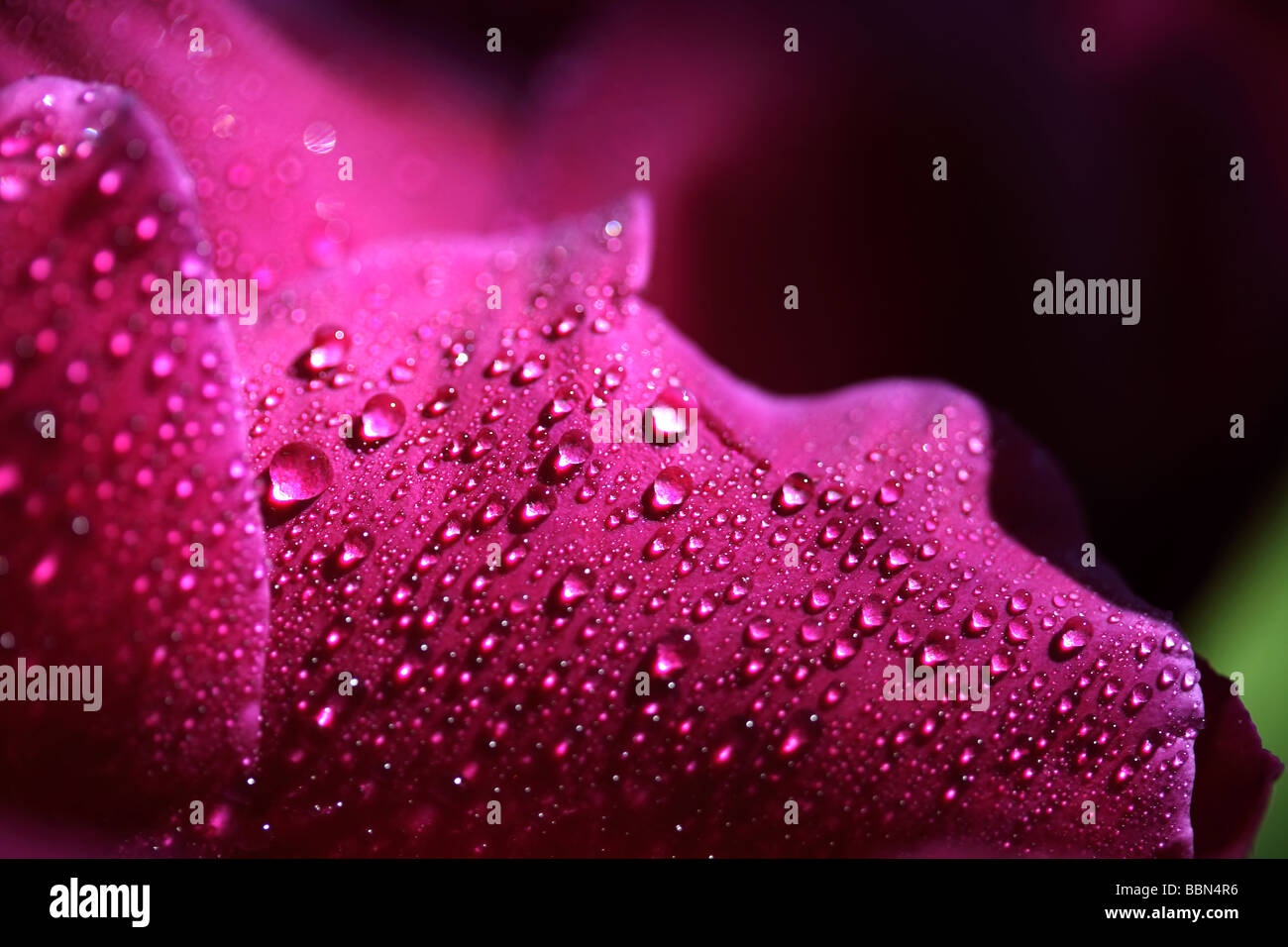 Pink petals of a Peony (Paeonia officinalis), covered with water drops Stock Photo