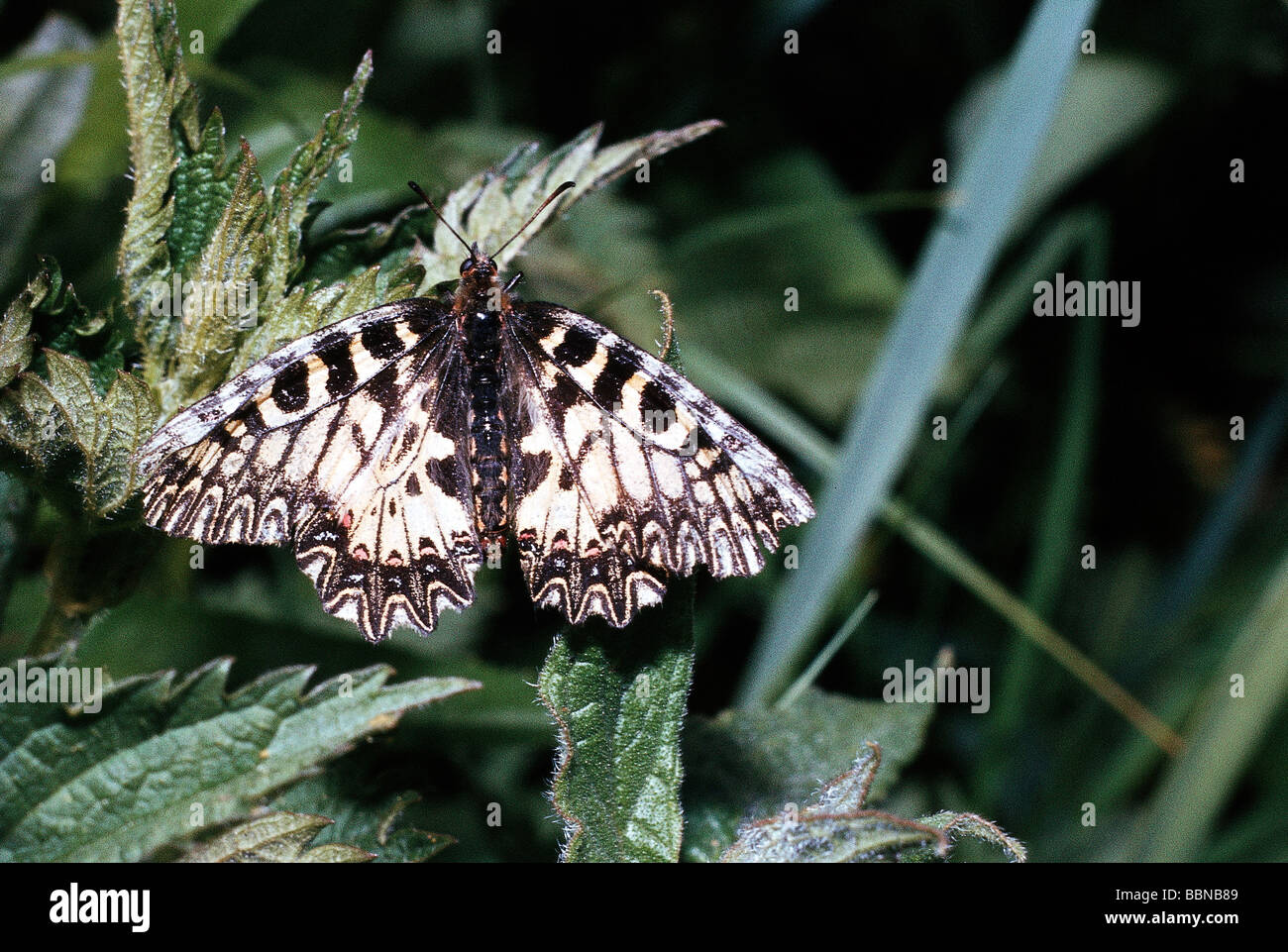 zoology, animals, insect butterflies Southern Festoon Zerynthia polyxena at plant, distribution: Eastern Mediterranean, - Stock Image
