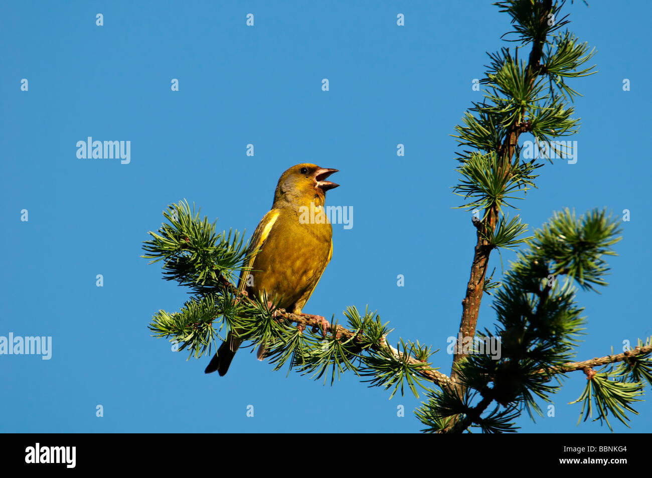 European greenfinch (Carduelis chloris) Stock Photo