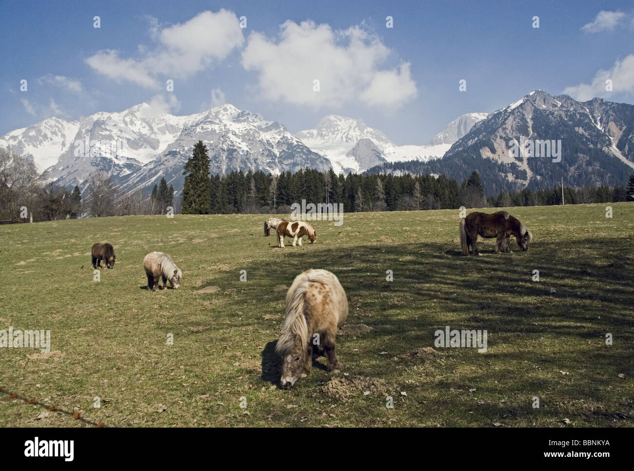 geography / travel, Austria, Styria, landscapes, willow near Ramsau am Dachstein, Additional-Rights-Clearance-Info - Stock Image