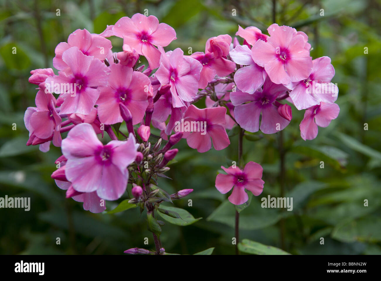 botany, garden phlox (phlox paniculata), Additional-Rights-Clearance-Info-Not-Available - Stock Image