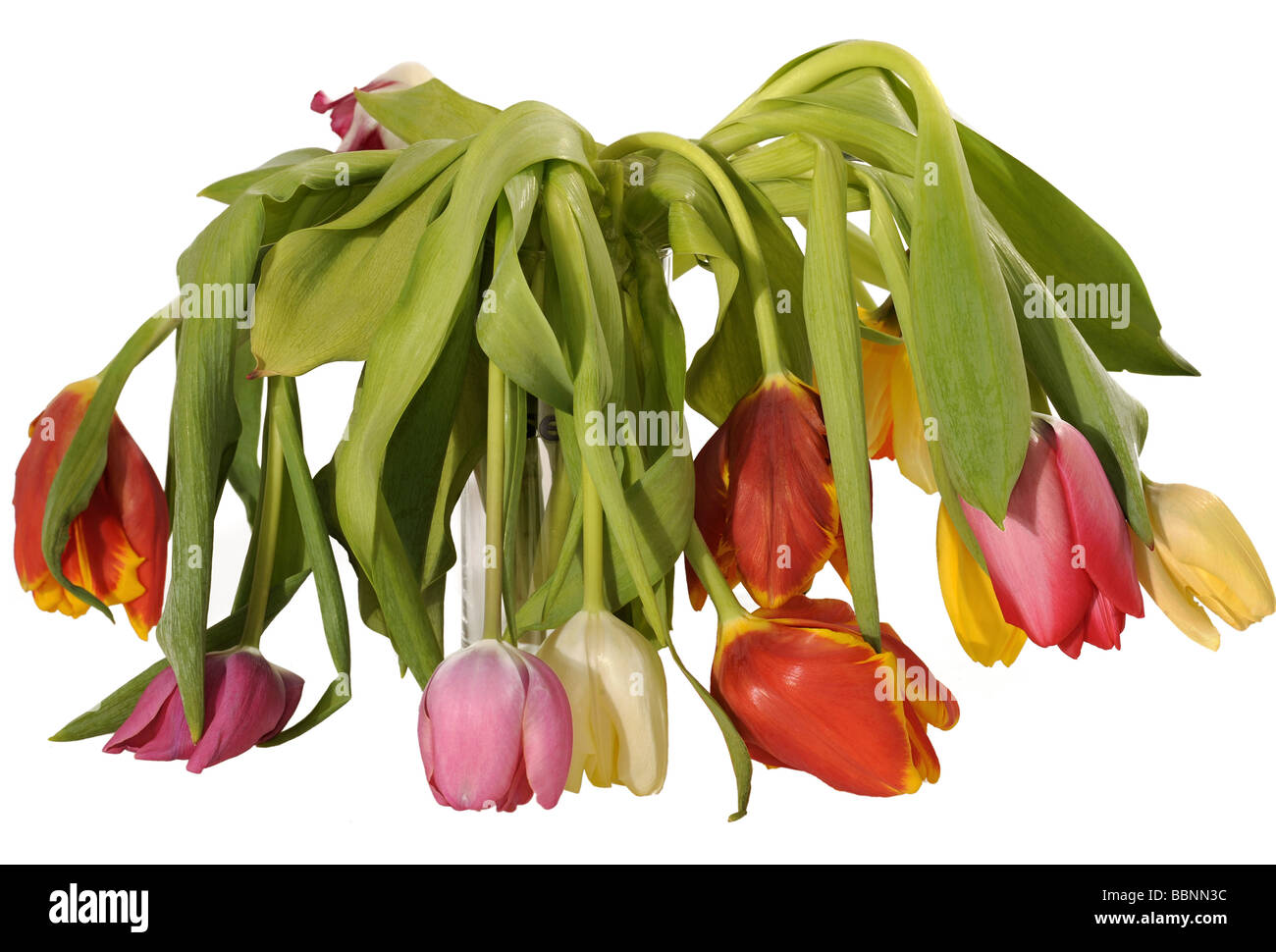 botany, tulips (Tulipa gesneriana), dried bunch of flowers, Additional-Rights-Clearance-Info-Not-Available - Stock Image