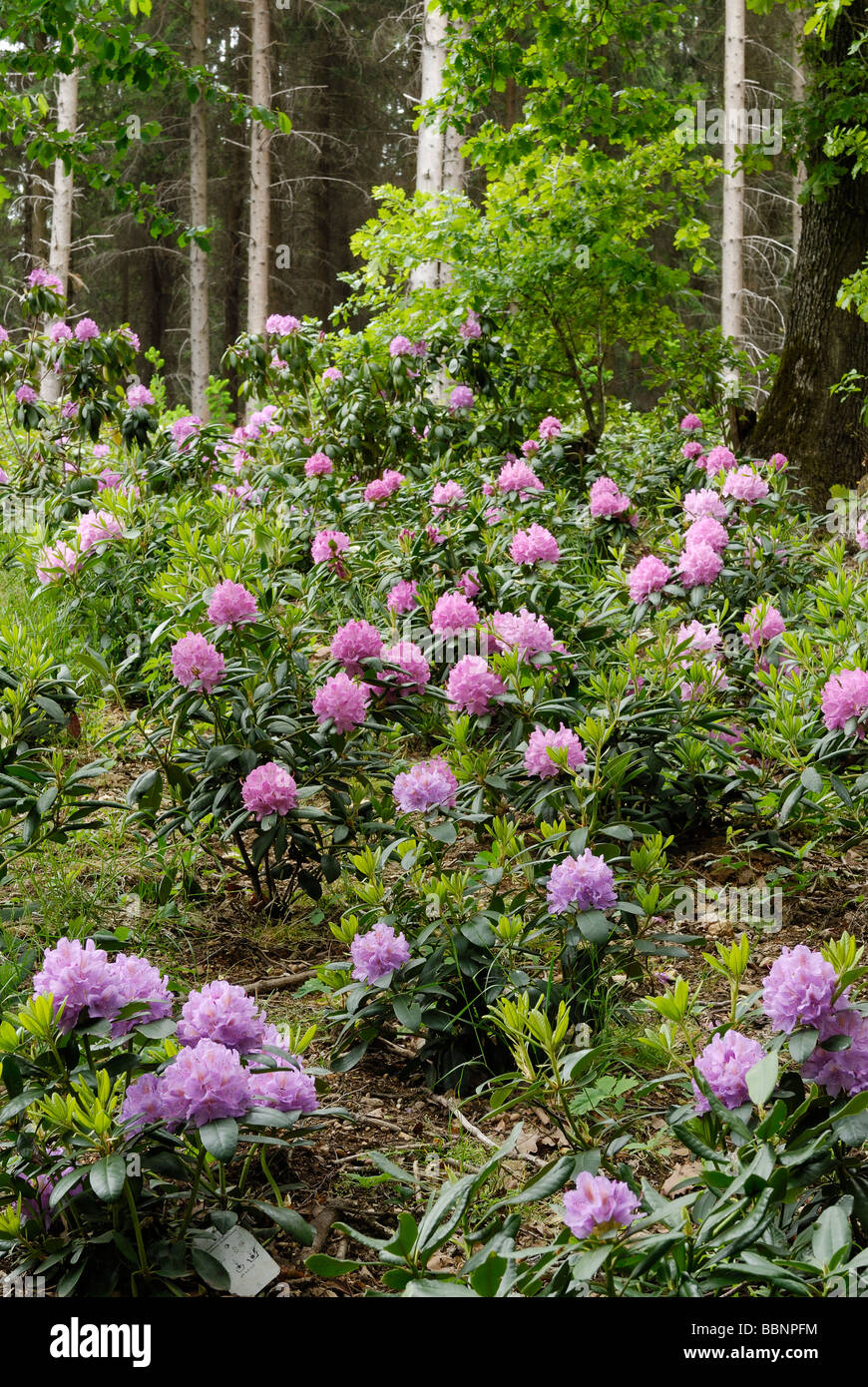 Rhododendron in a forest garden - Stock Image