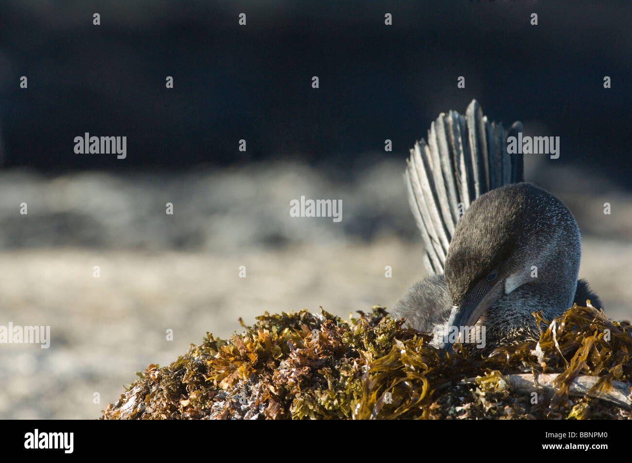 Flightless Cormorant (Nannopterum harrisi) female incubating on seaweed nest Punta Espinosa Fernandina Isabela Galapagos - Stock Image