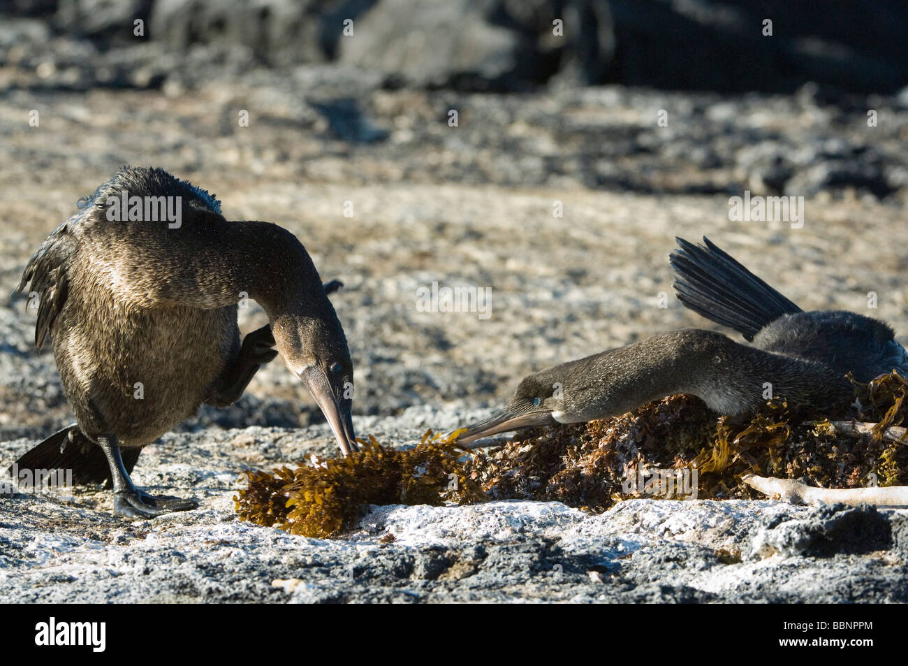 Flightless Cormorant (Nannopterum harrisi) male carrying seaweed nest-building gift Punta Espinosa Fernandina Isabela Stock Photo