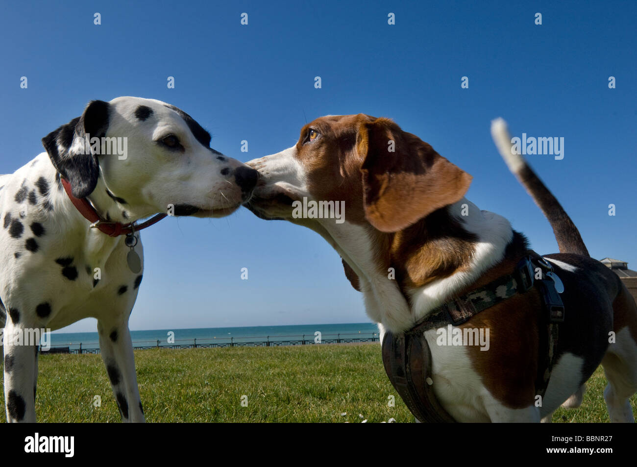A dalmatian and a Bassett Hound make friends during a walk on Hove Lawns, on the seafront at Hove. Stock Photo