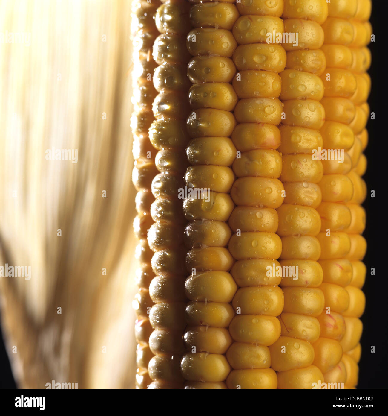 Ear of maize or Corn cob - Stock Image