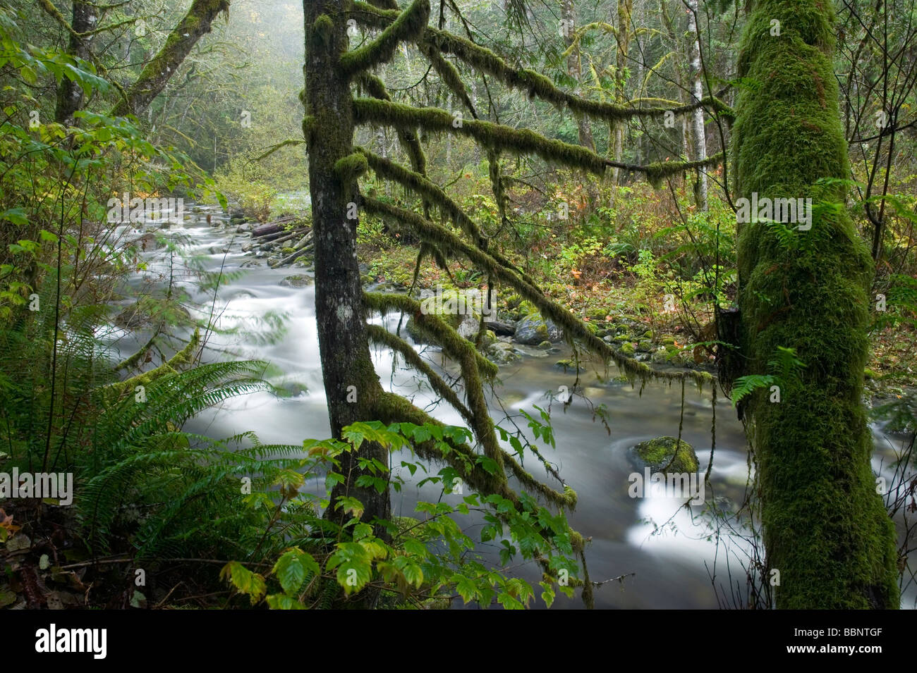 moss covered trees and Wallace River, Wallace Falls State Park, Washington - Stock Image