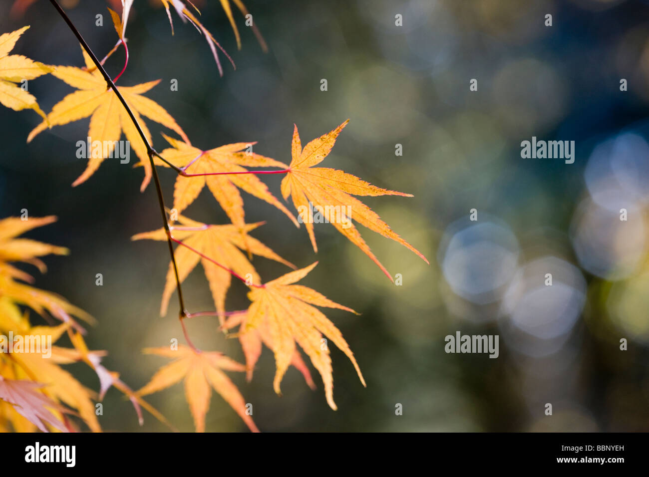 Acer Palmatum Nishiki Gawa Autumn Foliage Stock Photo 24454153