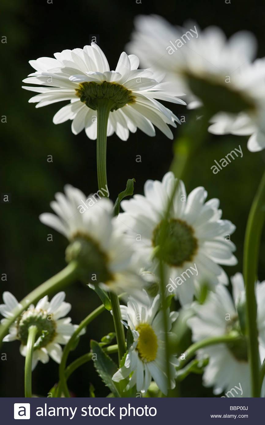 Leucanthemum maximum - Stock Image