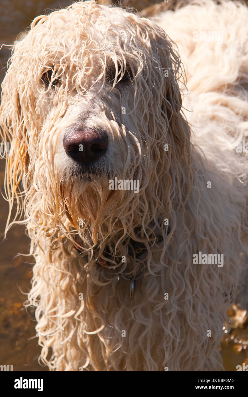 A Wet White Long Haired Dog Looking At The Camera Close Up