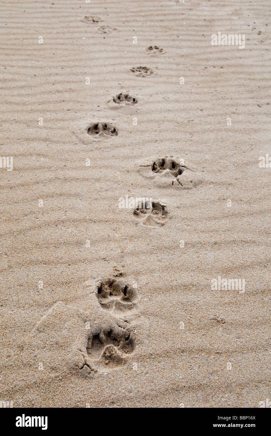59ce27344 Dog Paw Prints In Sand Stock Photos   Dog Paw Prints In Sand Stock ...