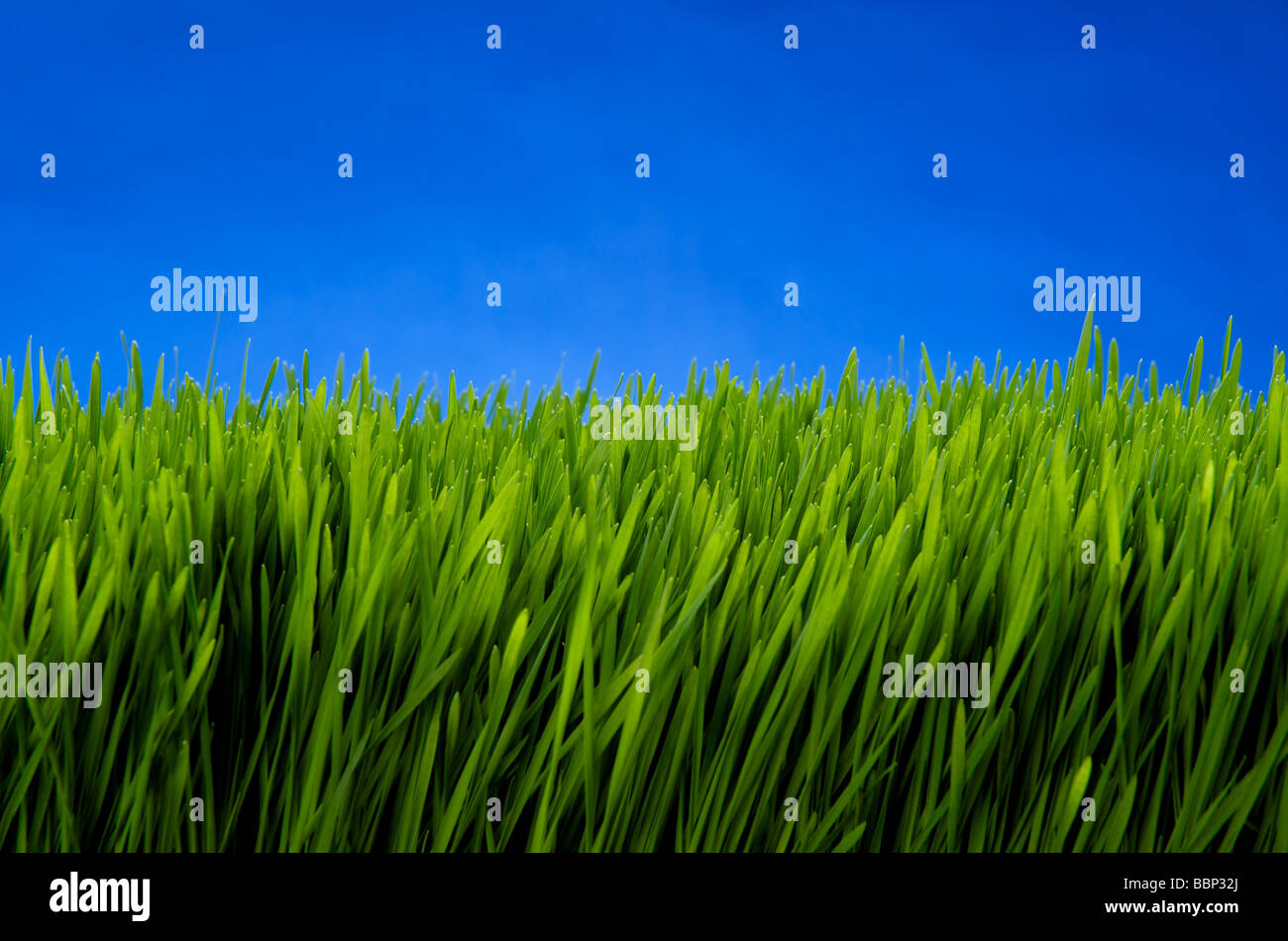 Close-up of wheat grass with sky blue background - Stock Image