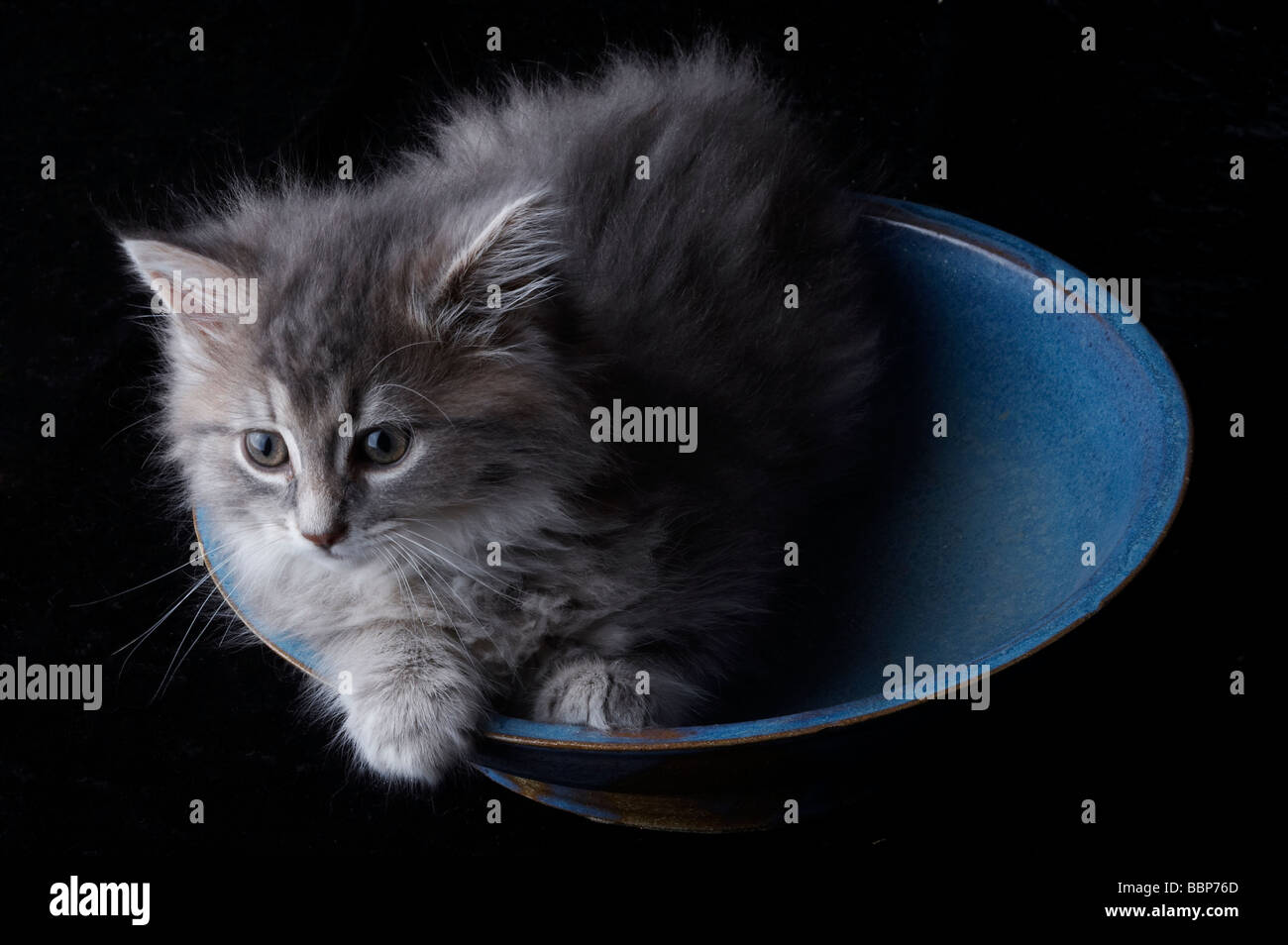 Fluffy grey kitten sitting in blue bowl - Stock Image