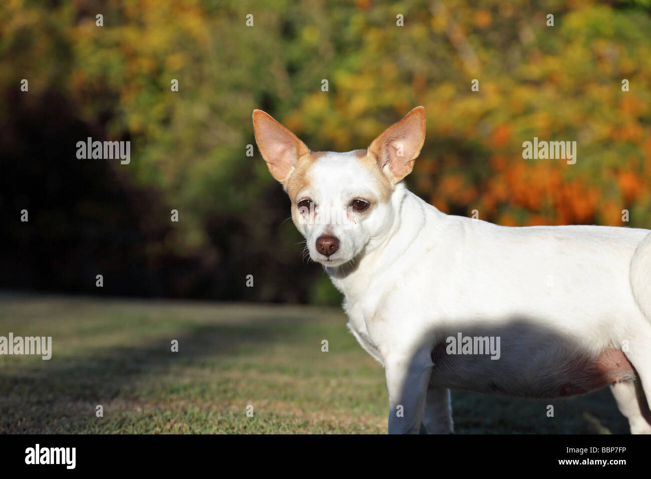 Jack Russell Terrier crossed with Chihuahua as family pet - Stock Image