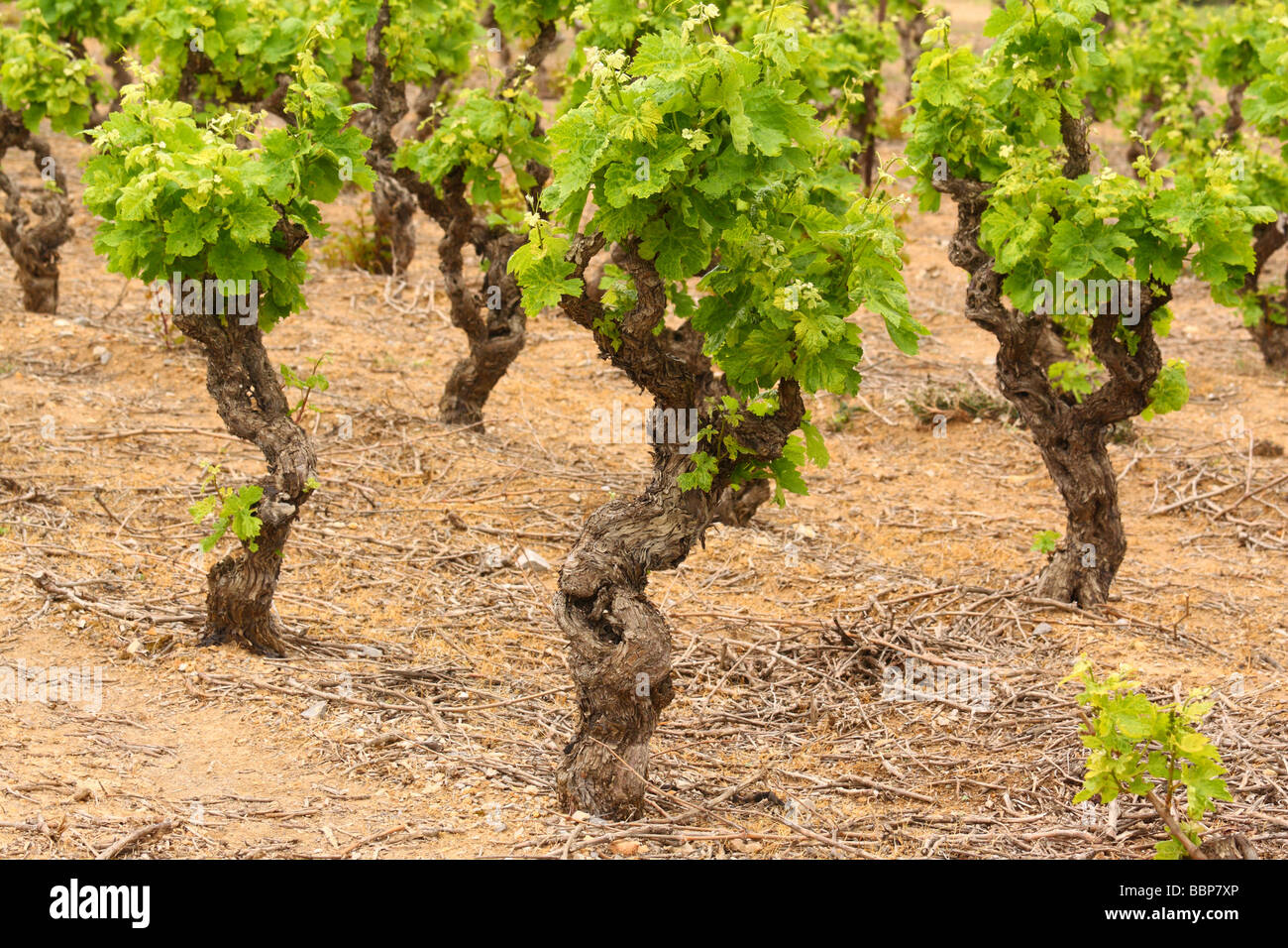 Old gnarled vine grape with young green spring leaves Minervois Languedoc-Rousillon France Vitis vinifera grape Stock Photo