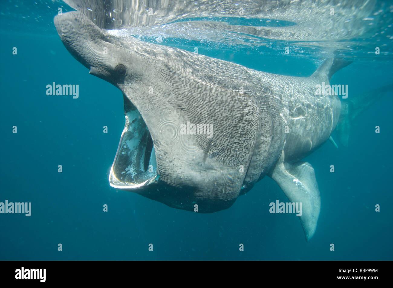 Basking shark feeding of the Cornish Coastline Cornwall UK - Stock Image