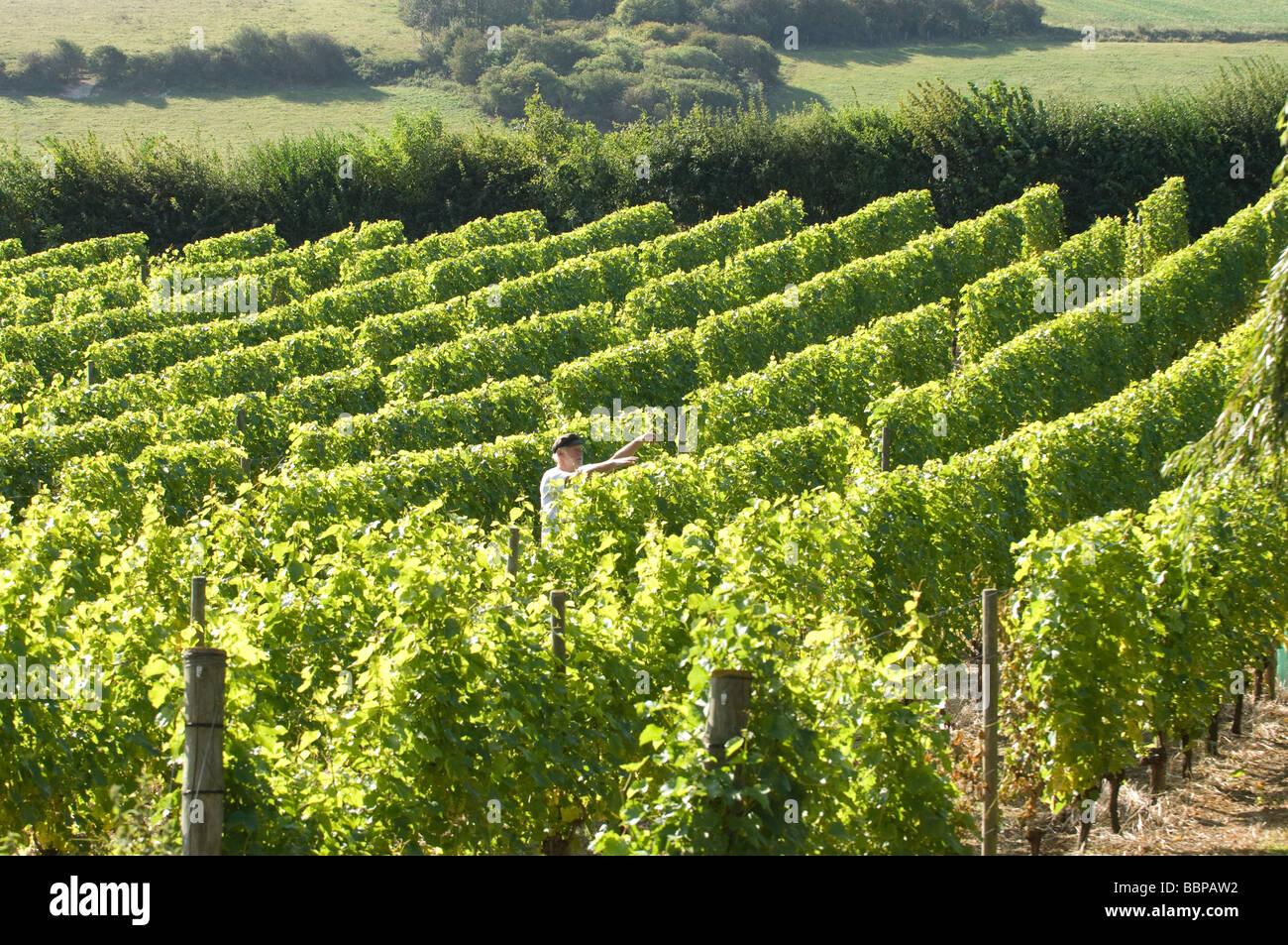 Peter Hall tending his vines at Breaky Bottom Vineyard, Rodmell, Near Lewes, Sussex, England, UK Britain - Stock Image