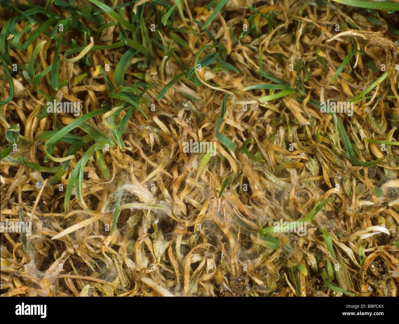 Leaf blight Ascochyta hordeicola mycelium and damage on lawn turfgrass - Stock Image