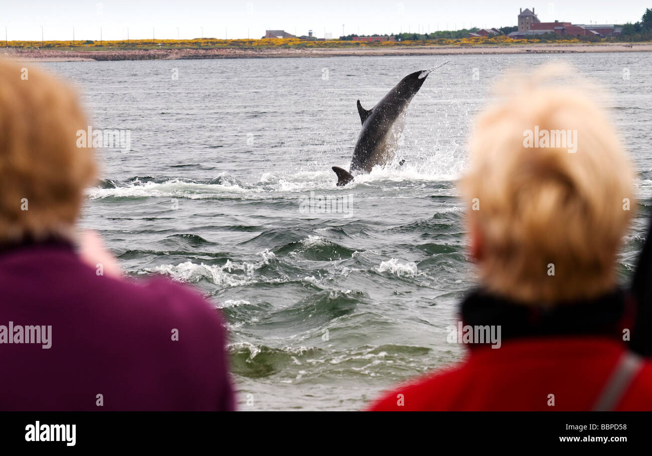 bottlenose dolphin watching on Black Isle, Scotland, UK Stock Photo
