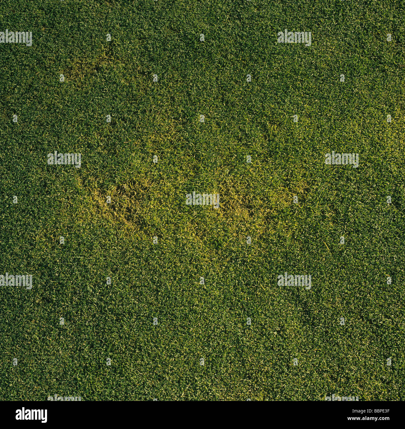 Yellow patch Rhizoctonia cerealis damage to fine grass in a golf green - Stock Image