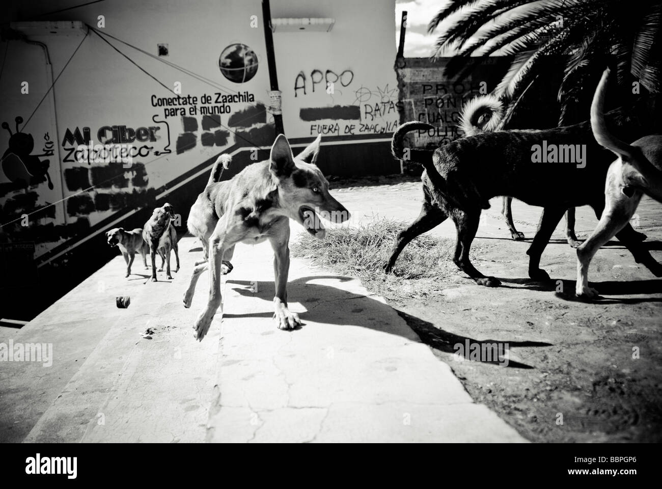 Mexico;Pack of stray dogs - Stock Image