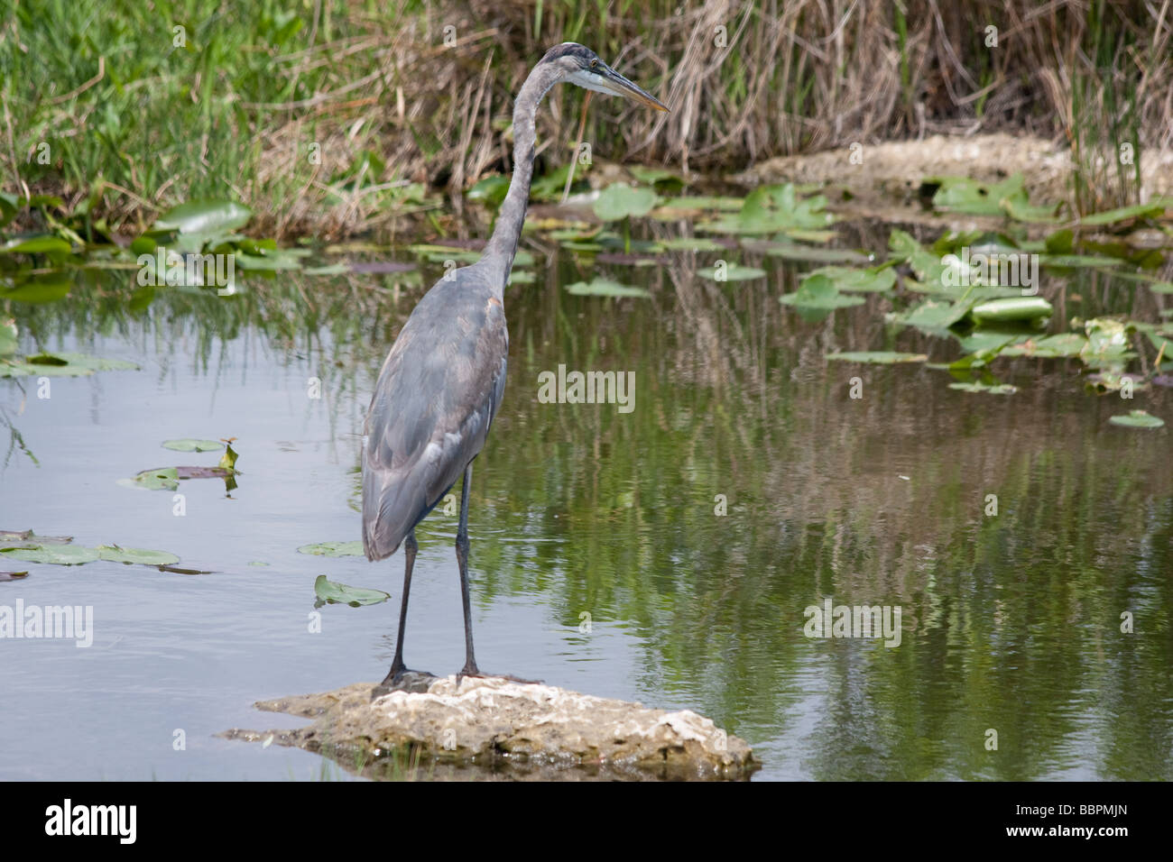 Blue herons and other birds abound on the Anhinga Trail at Royal Palm, in the Everglades National Park, Florida. - Stock Image