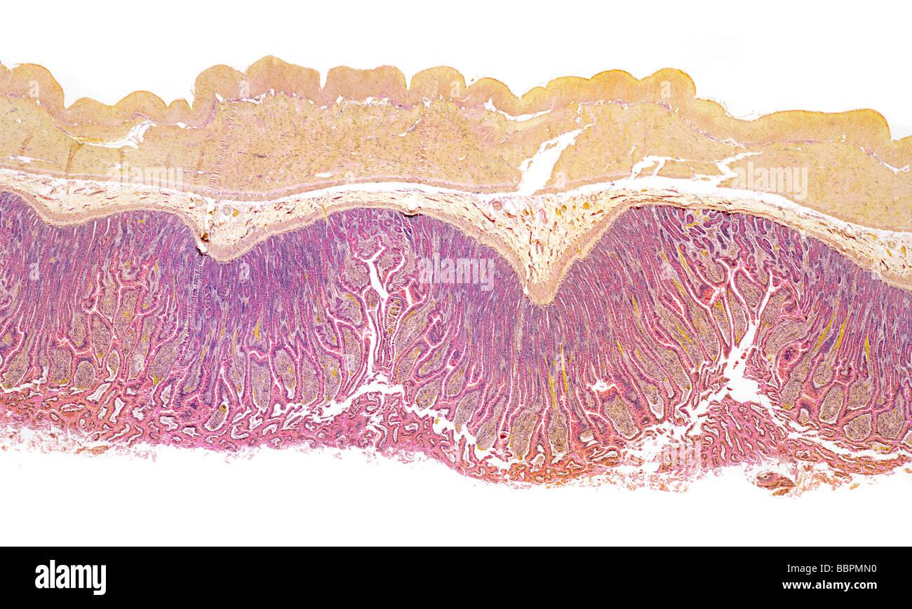 Mammal intestine brightfield photomicrograph - Stock Image