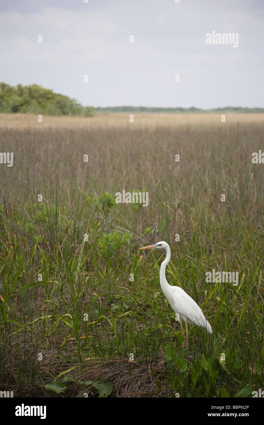 Great white herons and other birds abound on the Anhinga Trail at Royal Palm in the Everglades National Park, Florida. - Stock Image