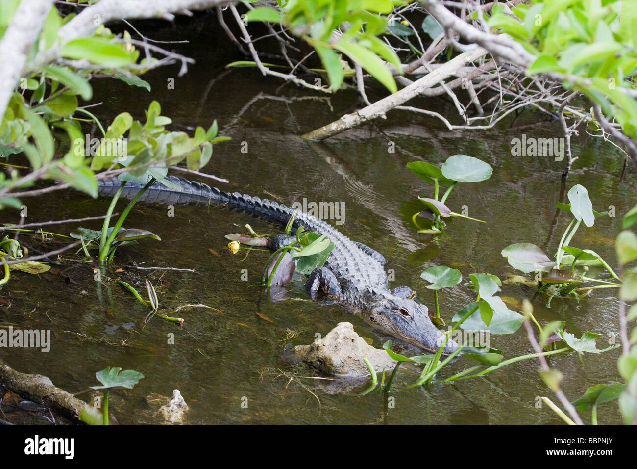 Alligators are in abundance at the base of the Shark Valley Observation Tower in the Everglades National Park in - Stock Image