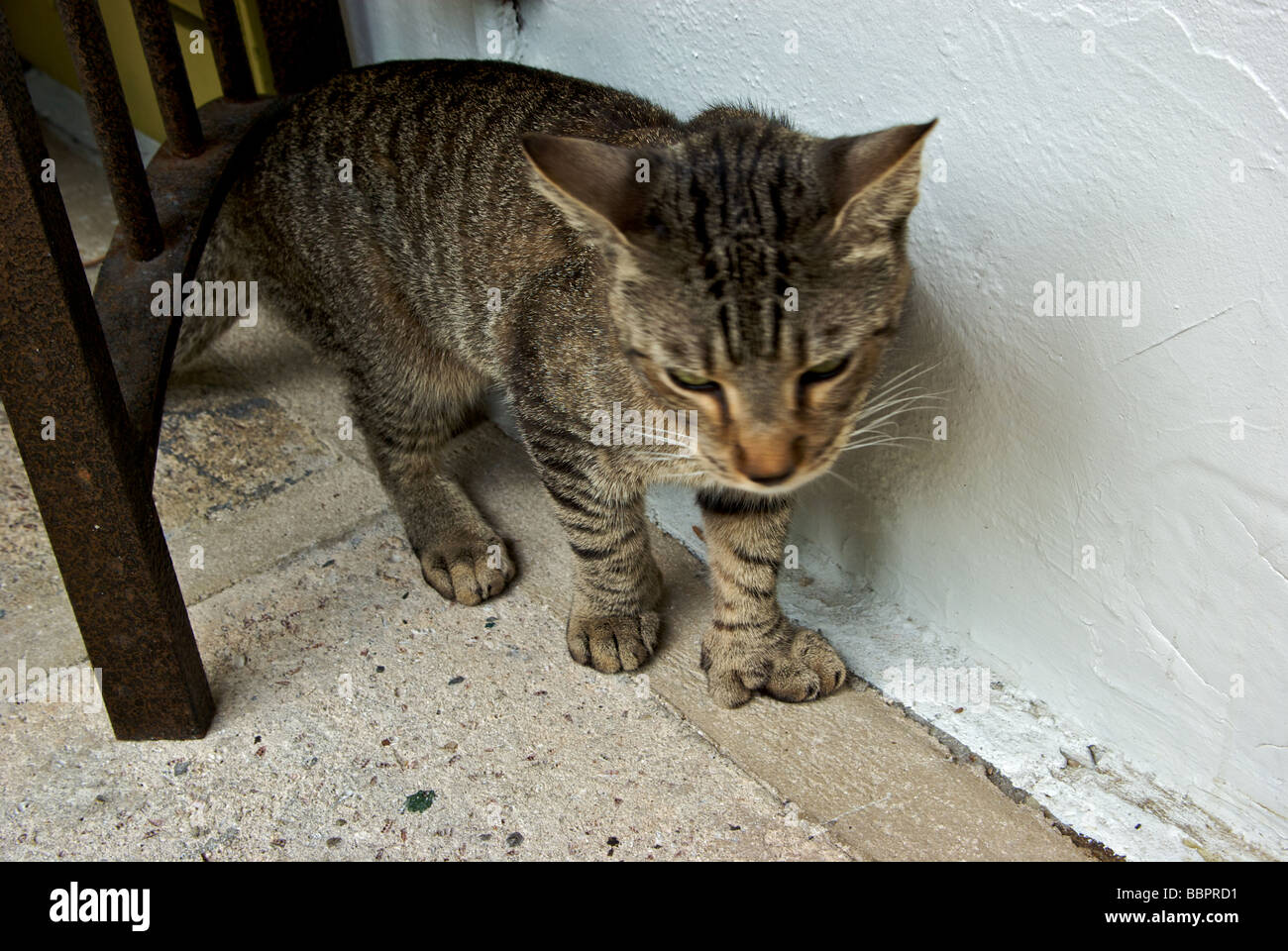 Feline Descendant Of The Famous Six Toed Polydactyl Cats Ernest