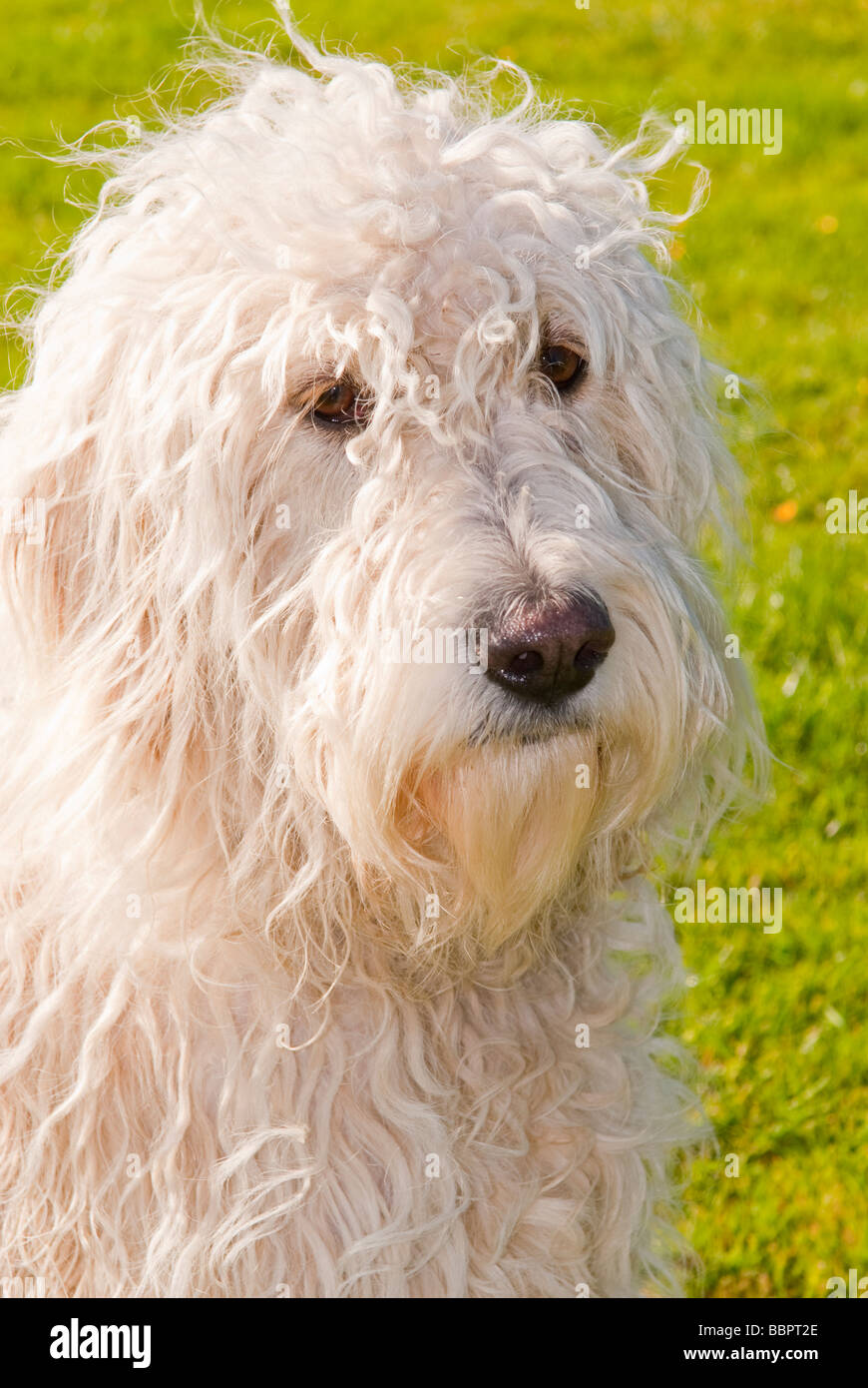 A Large White Mongrel Long Haired Cute Looking Dog Close Up