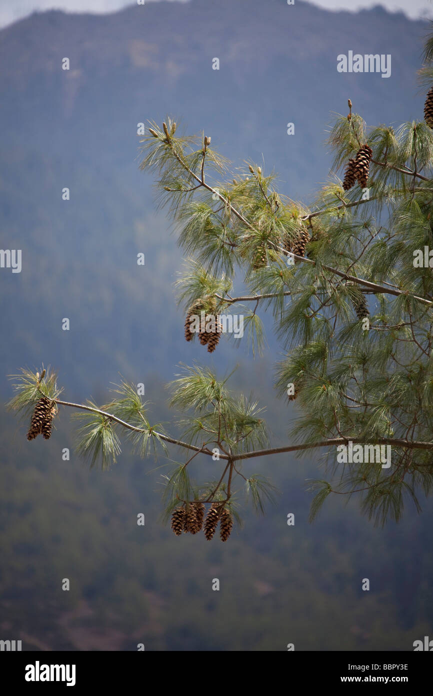 Pine tree with pine cones, mountains, Bhutan - Stock Image