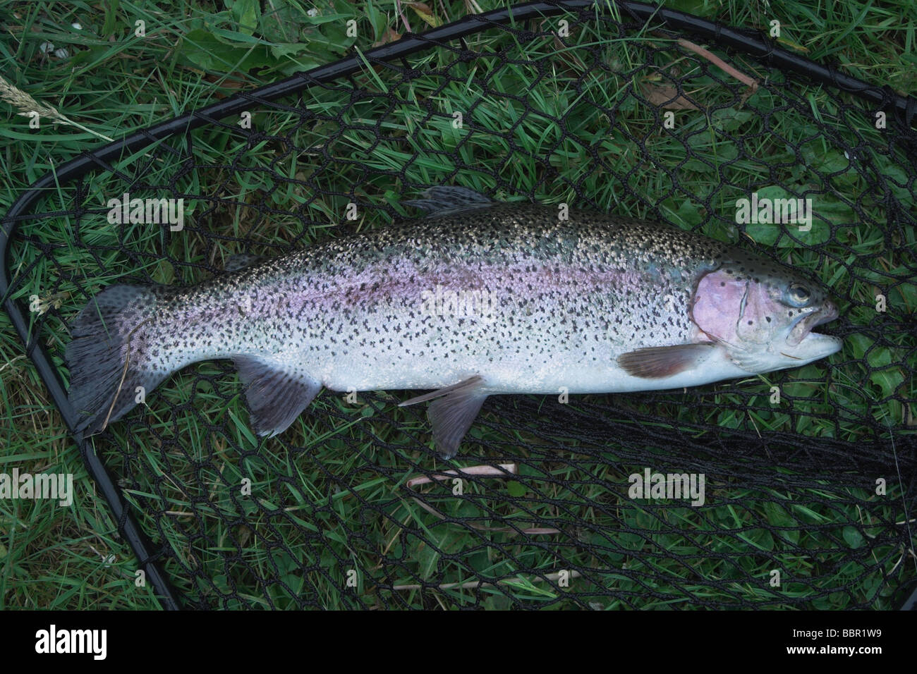 Rainbow Trout Farm Stock Photos & Rainbow Trout Farm Stock Images ...