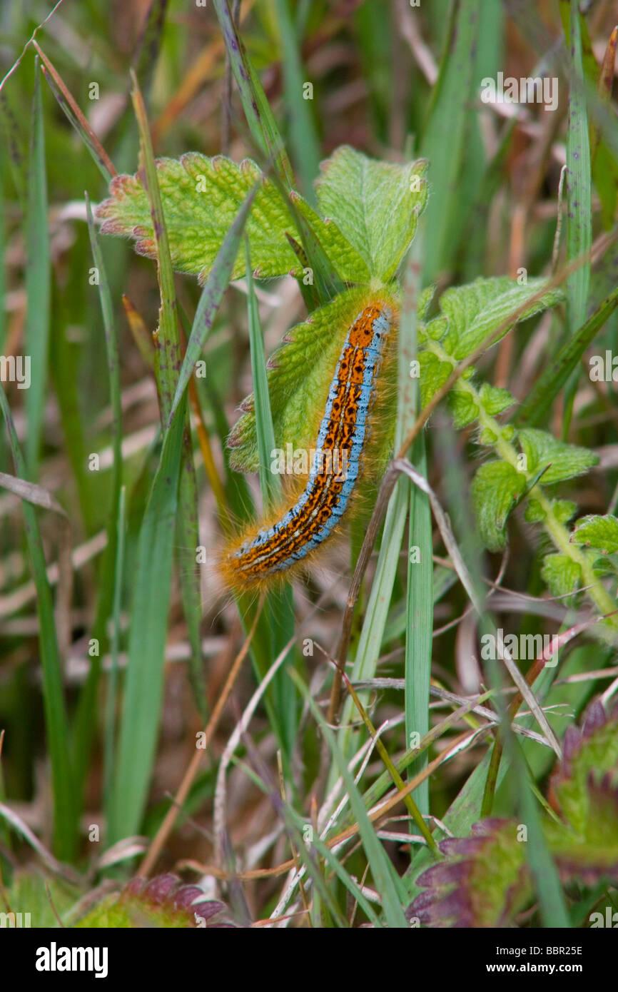 Caterpillar of the Ground Lackey (Malacosoma castrense) - Stock Image
