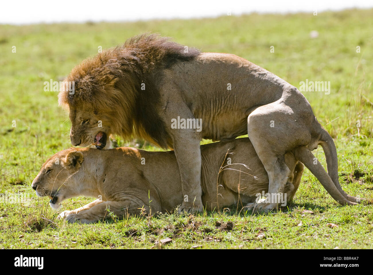 lion Panthera leo and lioness mating Masai Mara KENYA East Africa - Stock Image